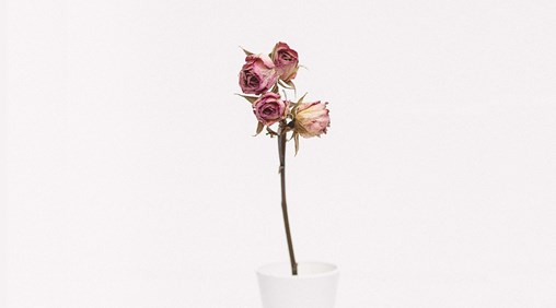 A picture of a wilting rose on a plain off white background