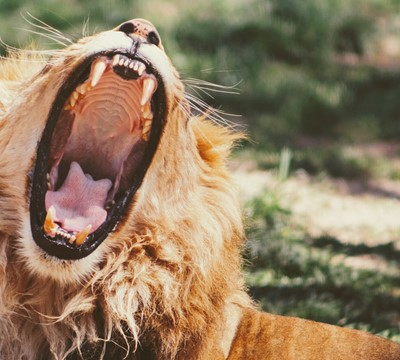 A lion with its mouth wide open